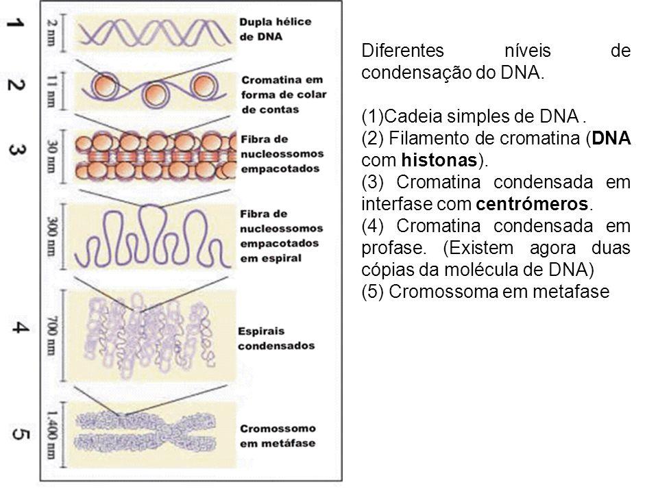 Diferentes níveis de condensação do DNA.