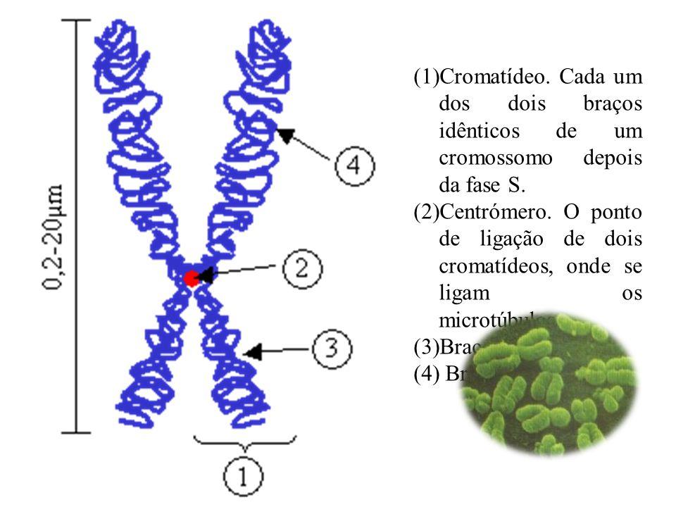Cromatídeo. Cada um dos dois braços idênticos de um cromossomo depois da fase S.