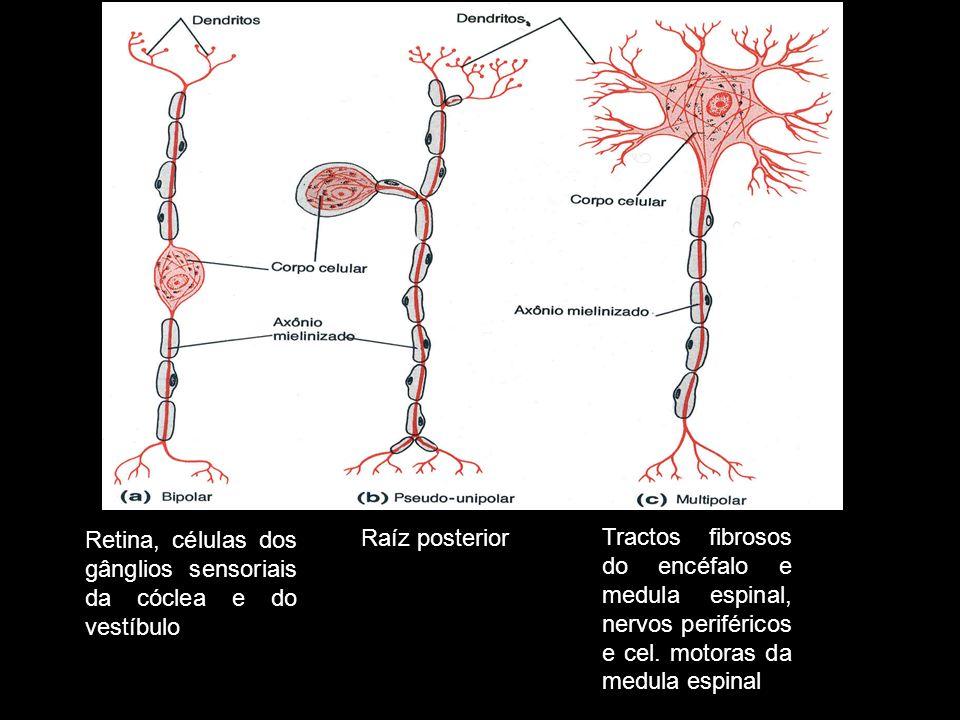 Retina, células dos gânglios sensoriais da cóclea e do vestíbulo