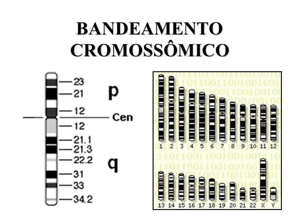 BANDEAMENTO CROMOSSÔMICO
