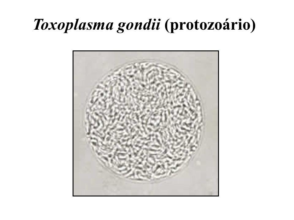 Toxoplasma gondii (protozoário)