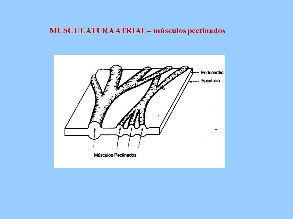 MUSCULATURA ATRIAL – músculos pectinados