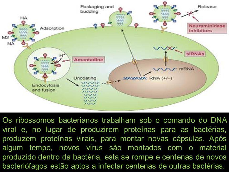 Os ribossomos bacterianos trabalham sob o comando do DNA viral e, no lugar de produzirem proteínas para as bactérias, produzem proteínas virais, para montar novas cápsulas.