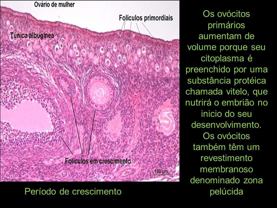 Os ovócitos primários aumentam de volume porque seu citoplasma é preenchido por uma substância protéica chamada vitelo, que nutrirá o embrião no inicio do seu desenvolvimento. Os ovócitos também têm um revestimento membranoso denominado zona pelúcida