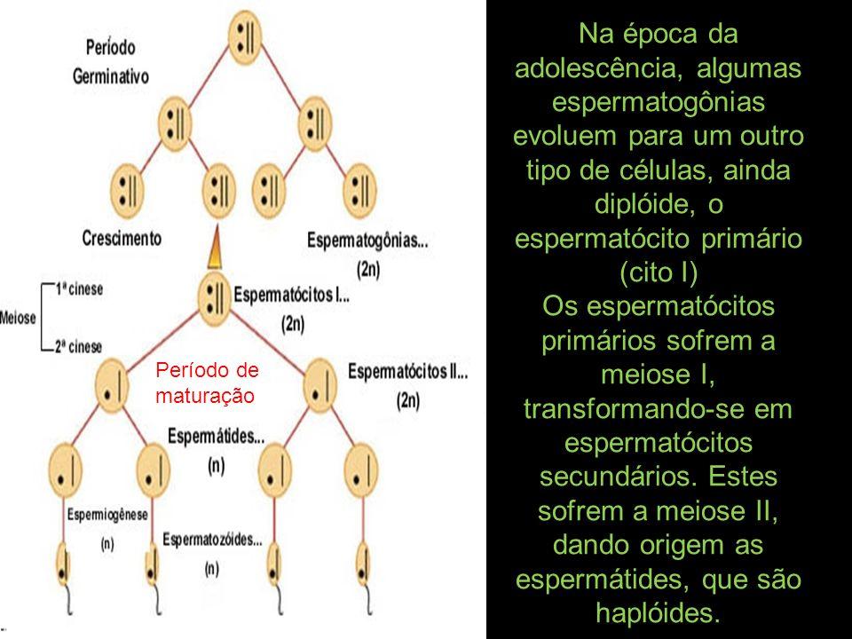 Na época da adolescência, algumas espermatogônias evoluem para um outro tipo de células, ainda diplóide, o espermatócito primário (cito I)