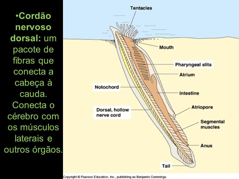 Cordão nervoso dorsal: um pacote de fibras que conecta a cabeça à cauda.