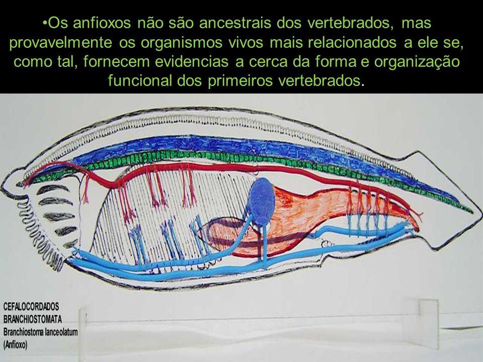 Os anfioxos não são ancestrais dos vertebrados, mas provavelmente os organismos vivos mais relacionados a ele se, como tal, fornecem evidencias a cerca da forma e organização funcional dos primeiros vertebrados.