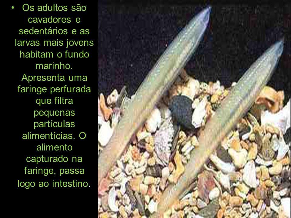 Os adultos são cavadores e sedentários e as larvas mais jovens habitam o fundo marinho.