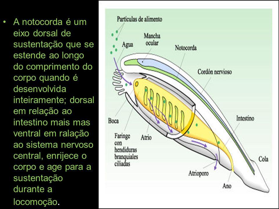 A notocorda é um eixo dorsal de sustentação que se estende ao longo do comprimento do corpo quando é desenvolvida inteiramente; dorsal em relação ao intestino mais mas ventral em ralação ao sistema nervoso central, enrijece o corpo e age para a sustentação durante a locomoção.
