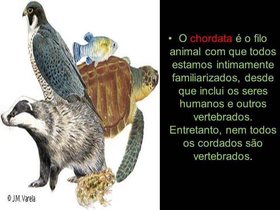 O chordata é o filo animal com que todos estamos intimamente familiarizados, desde que inclui os seres humanos e outros vertebrados.