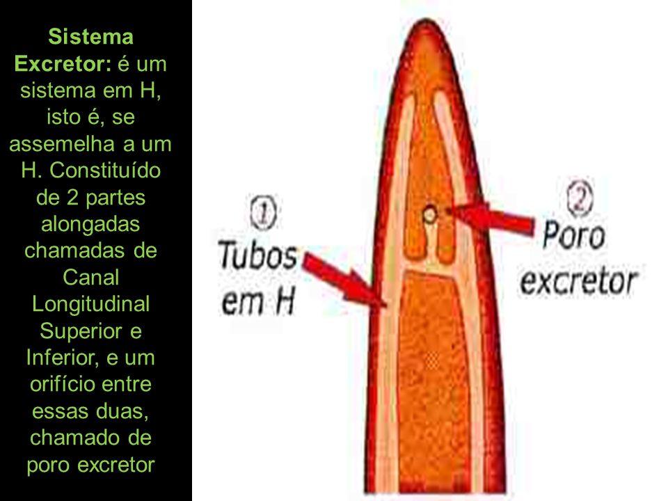 Sistema Excretor: é um sistema em H, isto é, se assemelha a um H