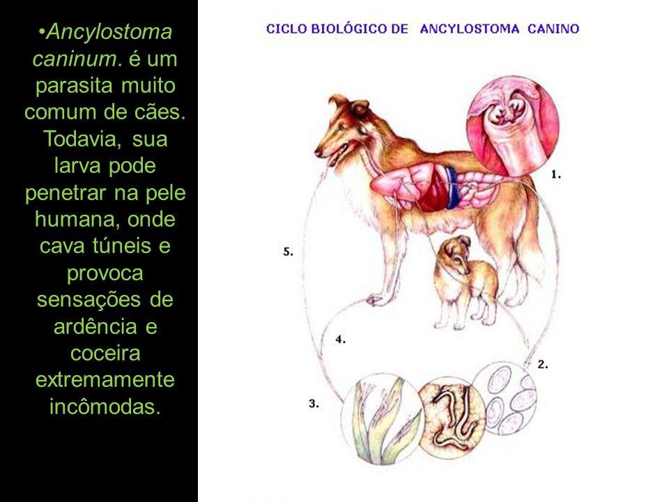Ancylostoma caninum. é um parasita muito comum de cães