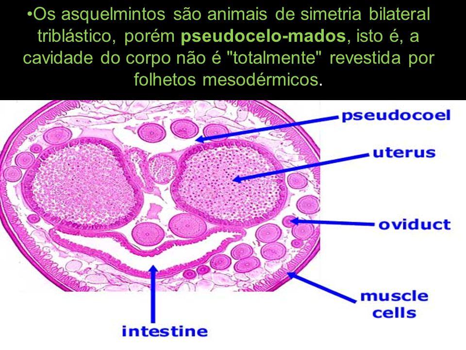 Os asquelmintos são animais de simetria bilateral triblástico, porém pseudocelo-mados, isto é, a cavidade do corpo não é totalmente revestida por folhetos mesodérmicos.