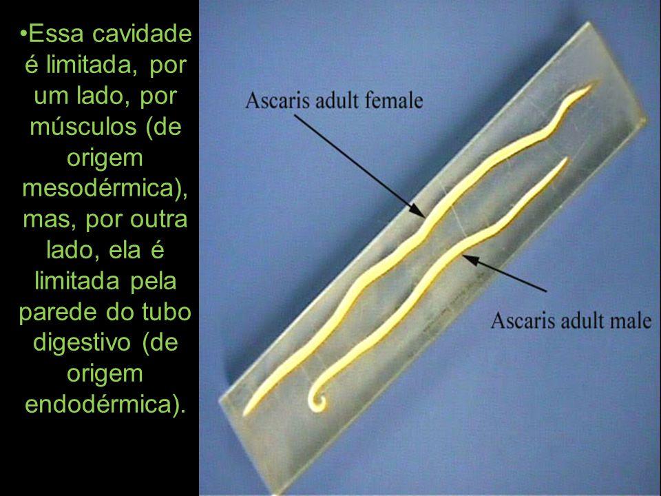 Essa cavidade é limitada, por um lado, por músculos (de origem mesodérmica), mas, por outra lado, ela é limitada pela parede do tubo digestivo (de origem endodérmica).