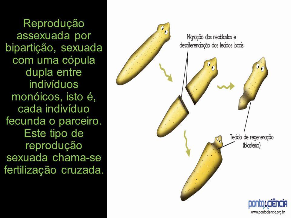 Reprodução assexuada por bipartição, sexuada com uma cópula dupla entre indivíduos monóicos, isto é, cada indivíduo fecunda o parceiro.