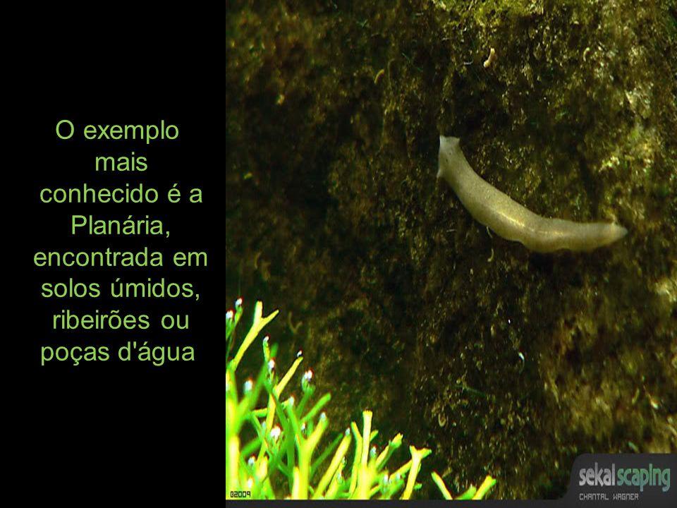 O exemplo mais conhecido é a Planária, encontrada em solos úmidos, ribeirões ou poças d água.