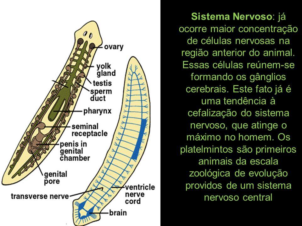 Sistema Nervoso: já ocorre maior concentração de células nervosas na região anterior do animal.