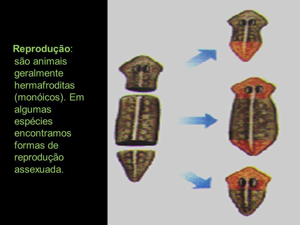 Reprodução: são animais geralmente hermafroditas (monóicos)