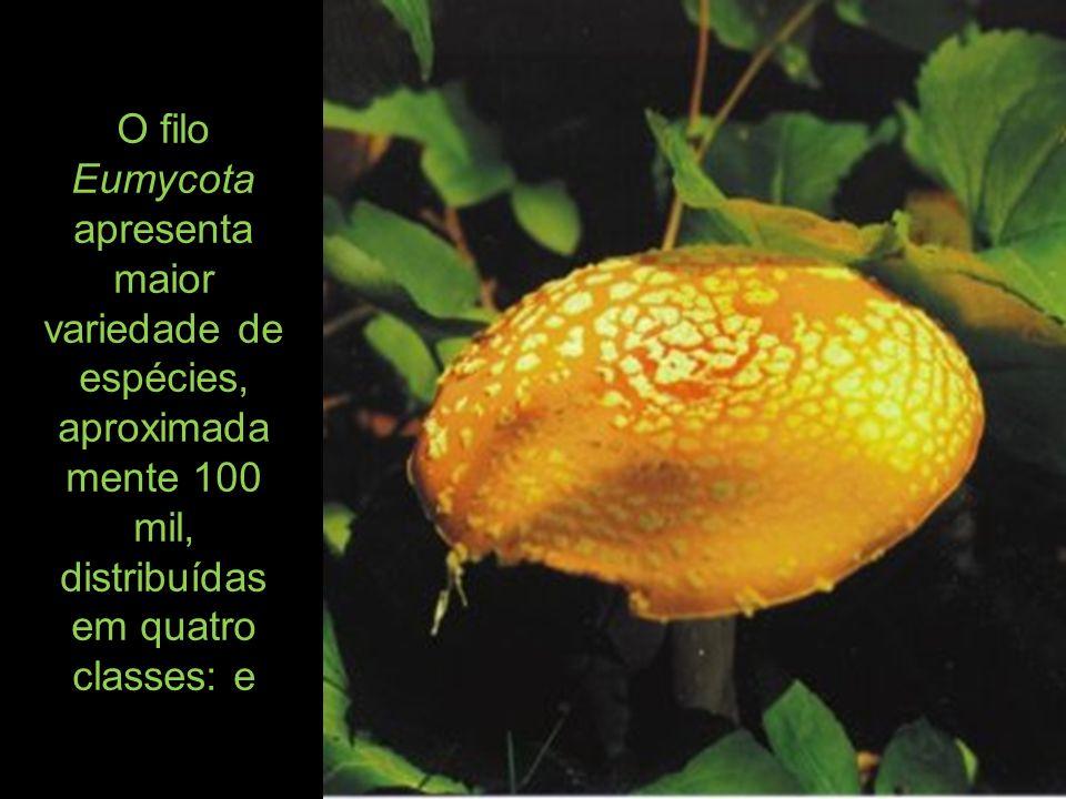 O filo Eumycota apresenta maior variedade de espécies, aproximadamente 100 mil, distribuídas em quatro classes: e