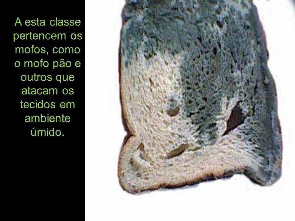A esta classe pertencem os mofos, como o mofo pão e outros que atacam os tecidos em ambiente úmido.