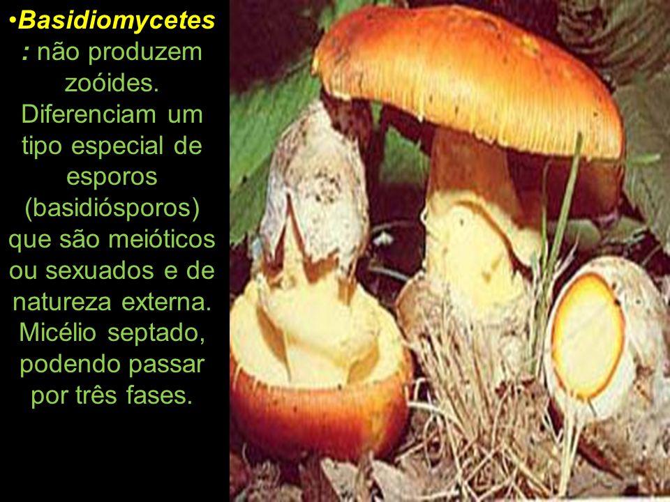 Basidiomycetes: não produzem zoóides
