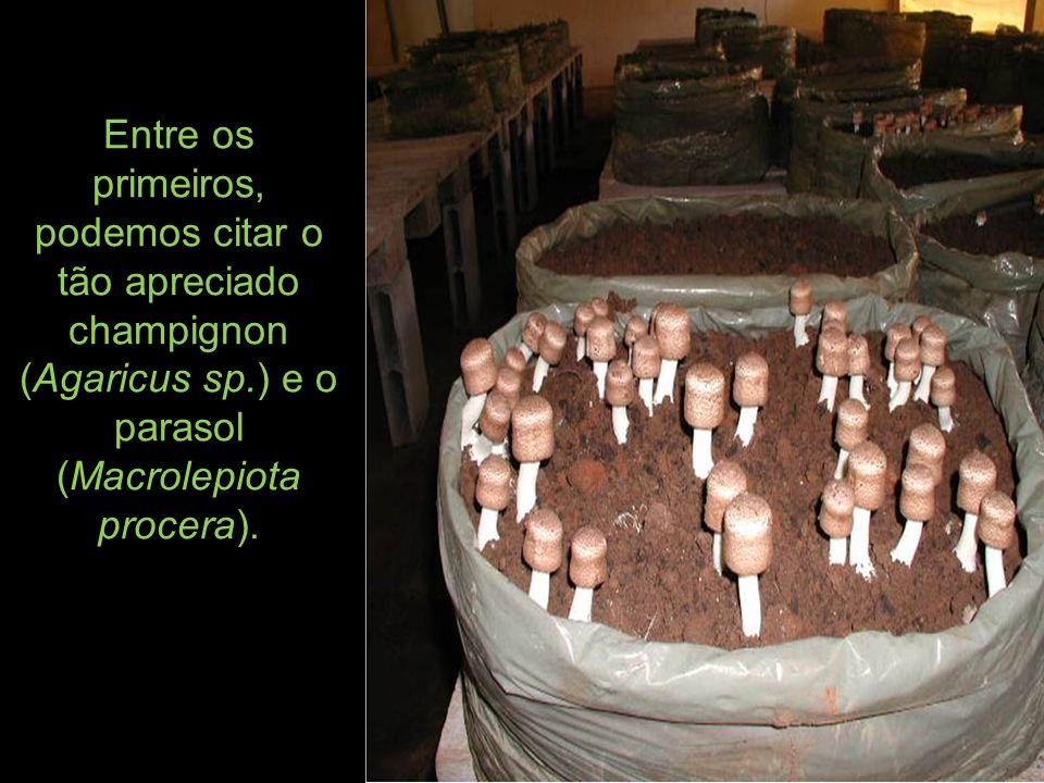 Entre os primeiros, podemos citar o tão apreciado champignon (Agaricus sp.) e o parasol (Macrolepiota procera).