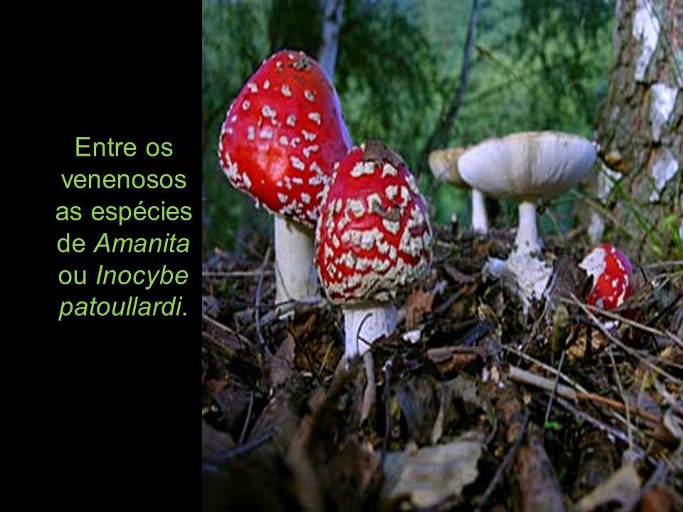Entre os venenosos as espécies de Amanita ou Inocybe patoullardi.