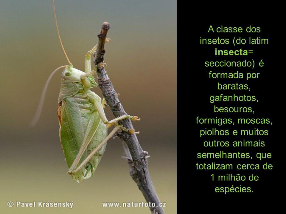 A classe dos insetos (do latim insecta= seccionado) é formada por baratas, gafanhotos, besouros, formigas, moscas, piolhos e muitos outros animais semelhantes, que totalizam cerca de 1 milhão de espécies.