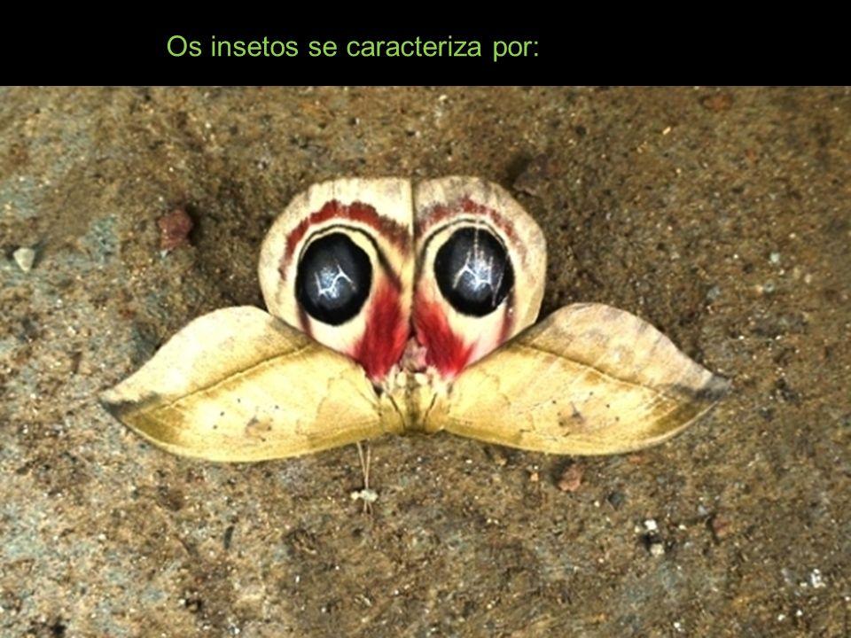 Os insetos se caracteriza por: