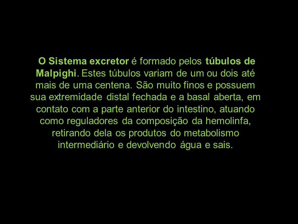 O Sistema excretor é formado pelos túbulos de Malpighi