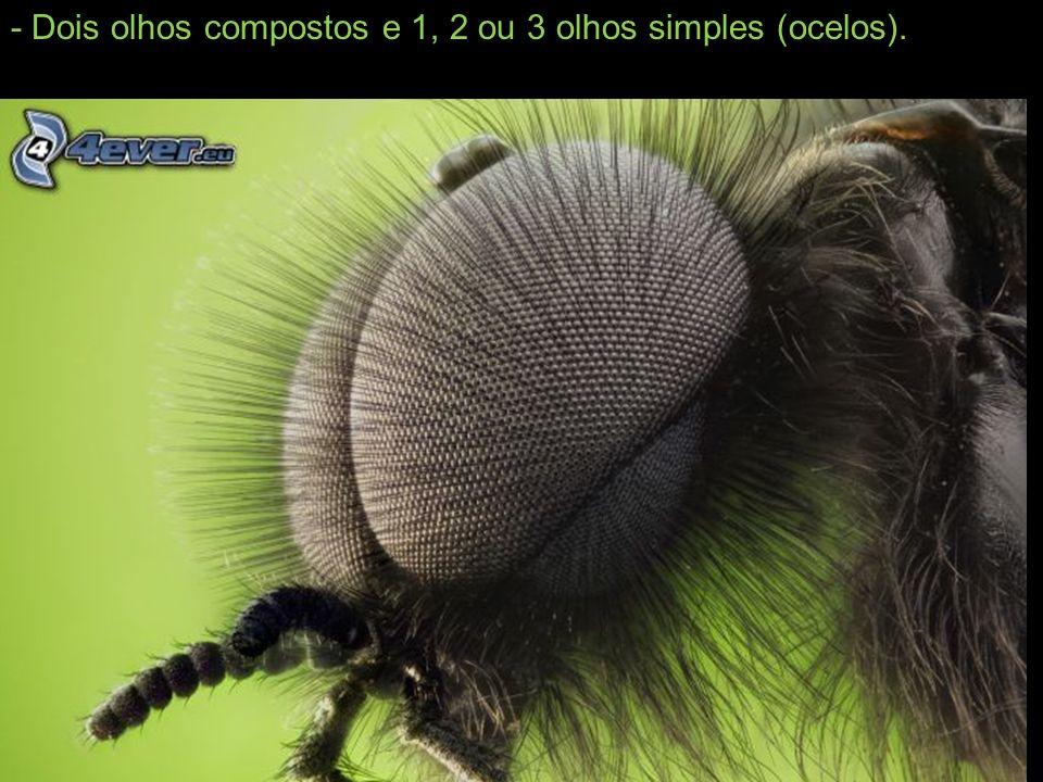 - Dois olhos compostos e 1, 2 ou 3 olhos simples (ocelos).