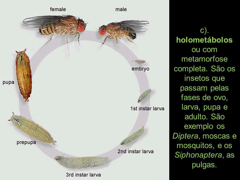 c). holometábolos ou com metamorfose completa