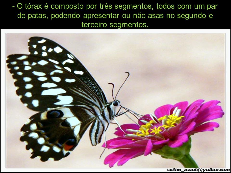 - O tórax é composto por três segmentos, todos com um par de patas, podendo apresentar ou não asas no segundo e terceiro segmentos.