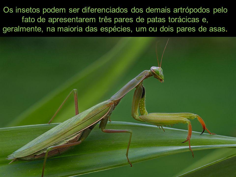 Os insetos podem ser diferenciados dos demais artrópodos pelo fato de apresentarem três pares de patas torácicas e, geralmente, na maioria das espécies, um ou dois pares de asas.