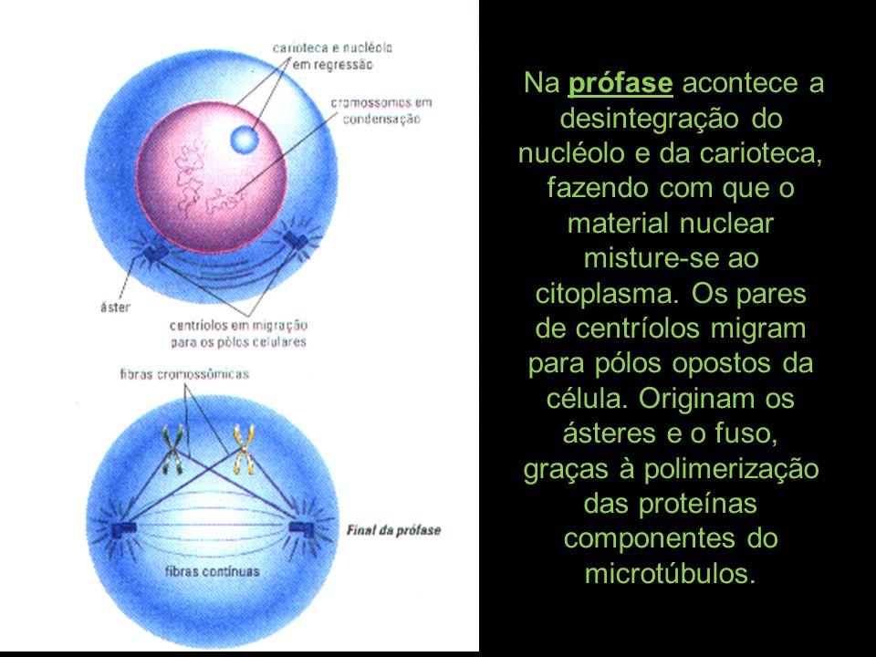 Na prófase acontece a desintegração do nucléolo e da carioteca, fazendo com que o material nuclear misture-se ao citoplasma.