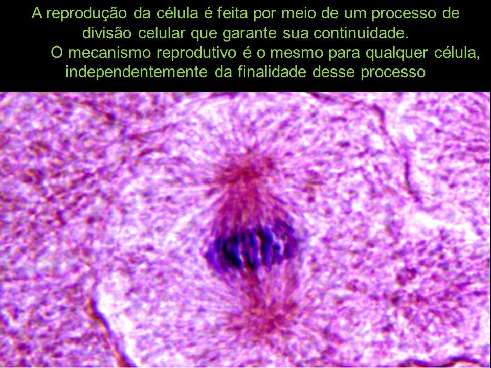 A reprodução da célula é feita por meio de um processo de divisão celular que garante sua continuidade.