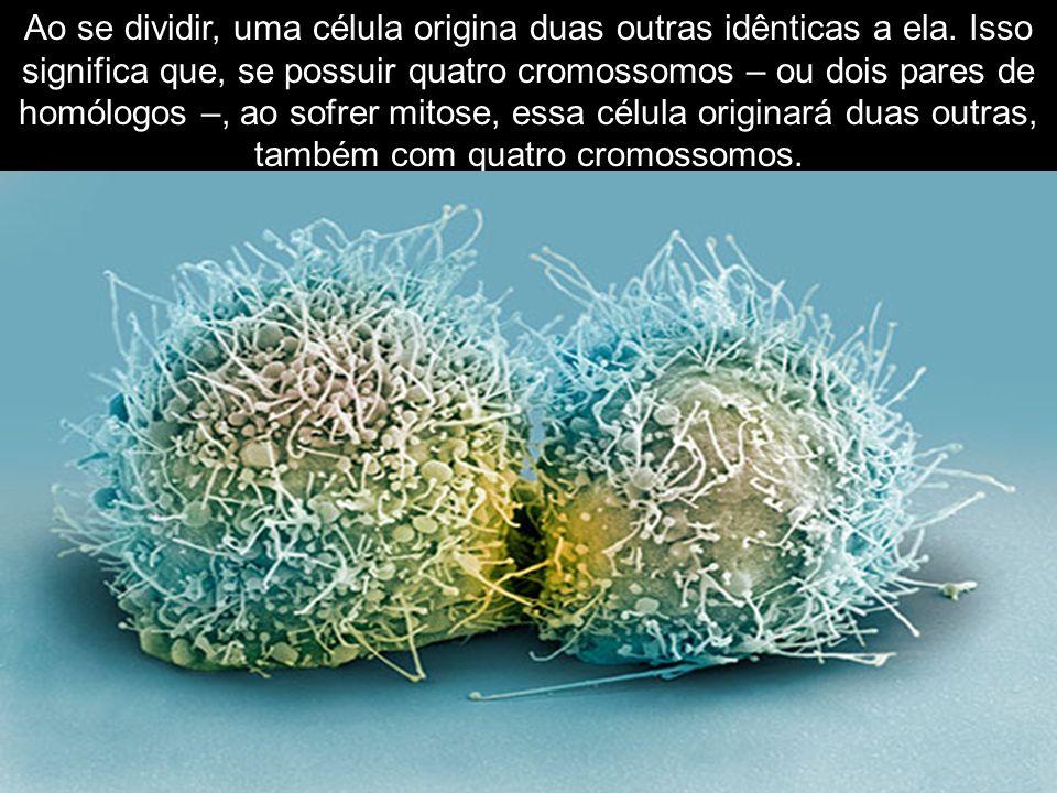 Ao se dividir, uma célula origina duas outras idênticas a ela