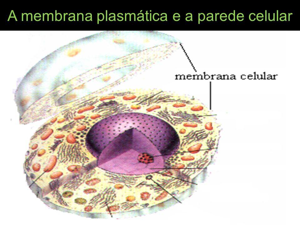 A membrana plasmática e a parede celular