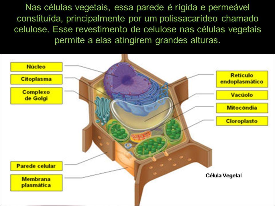 Nas células vegetais, essa parede é rígida e permeável constituída, principalmente por um polissacarídeo chamado celulose.