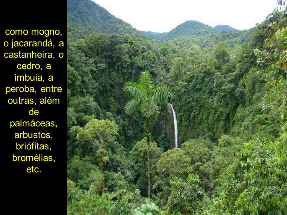 como mogno, o jacarandá, a castanheira, o cedro, a imbuia, a peroba, entre outras, além de palmáceas, arbustos, briófitas, bromélias, etc.
