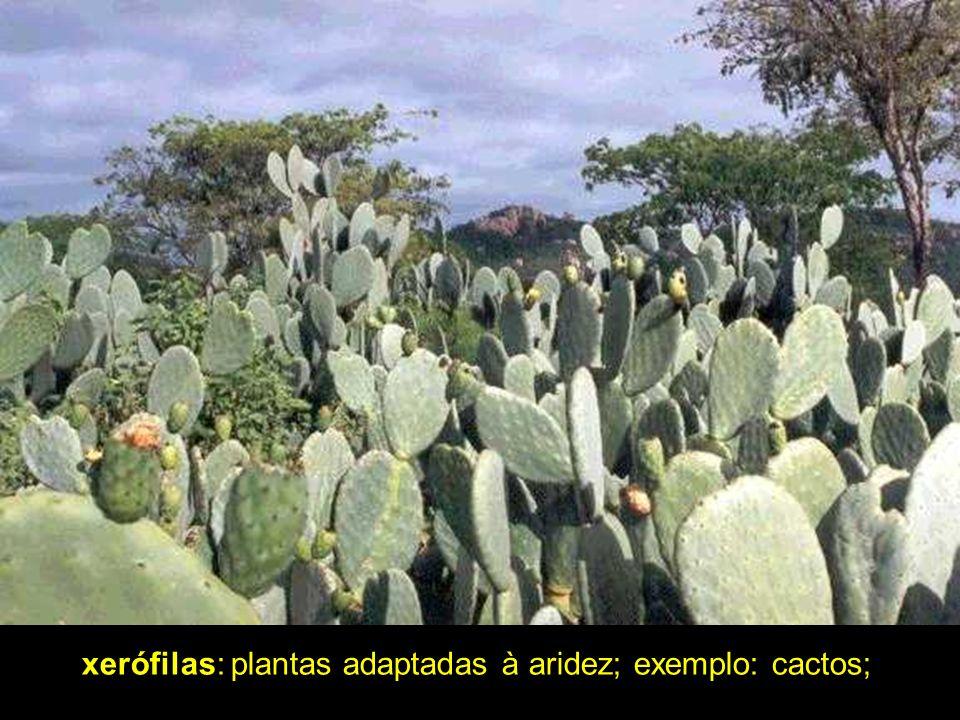 xerófilas: plantas adaptadas à aridez; exemplo: cactos;