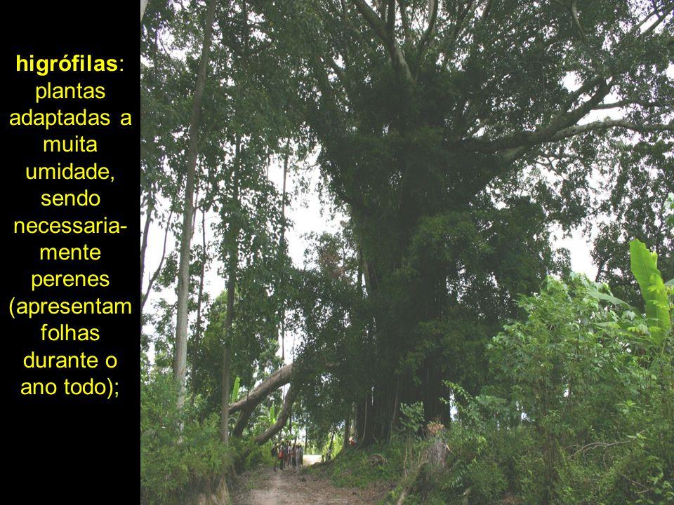 higrófilas: plantas adaptadas a muita umidade, sendo necessaria-mente perenes (apresentam folhas durante o ano todo);