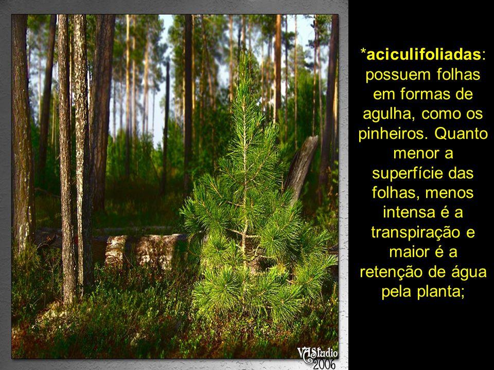 aciculifoliadas: possuem folhas em formas de agulha, como os pinheiros