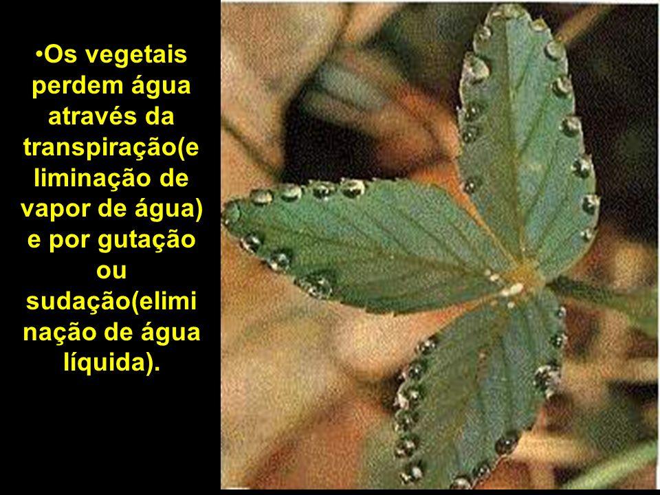 Os vegetais perdem água através da transpiração(eliminação de vapor de água) e por gutação ou sudação(eliminação de água líquida).