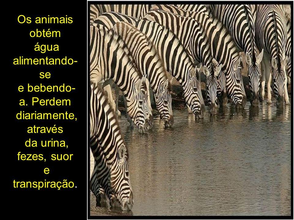 Os animais obtém água alimentando-se. e bebendo-a. Perdem. diariamente, através. da urina, fezes, suor.