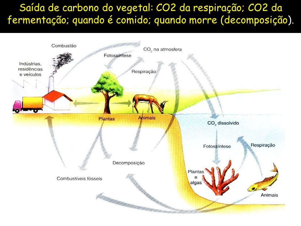 Saída de carbono do vegetal: CO2 da respiração; CO2 da fermentação; quando é comido; quando morre (decomposição).