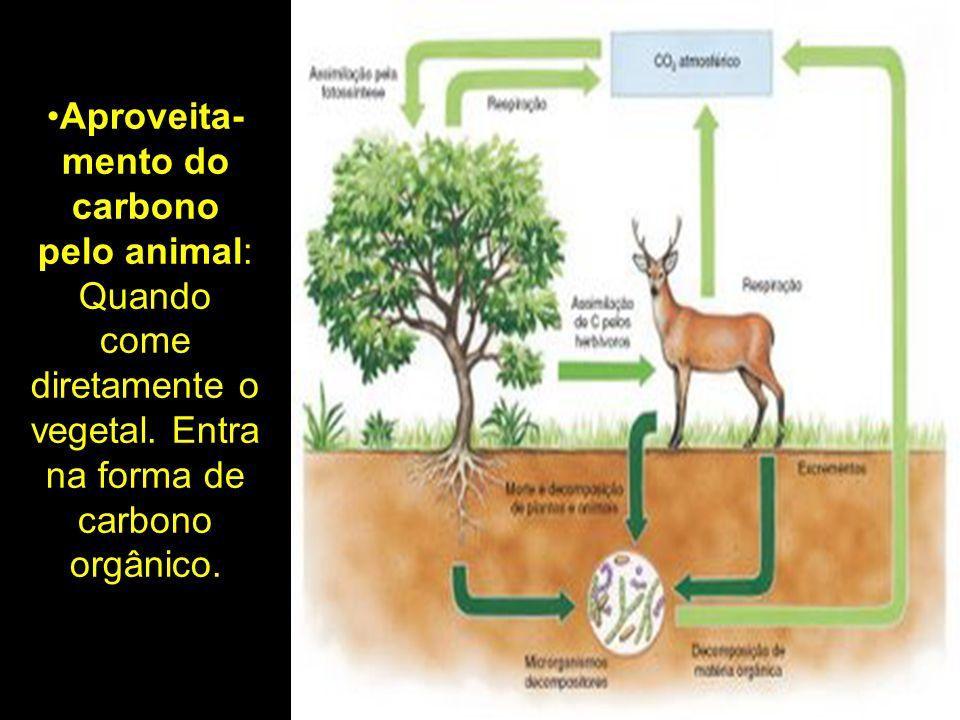 Aproveita-mento do carbono pelo animal: Quando come diretamente o vegetal.