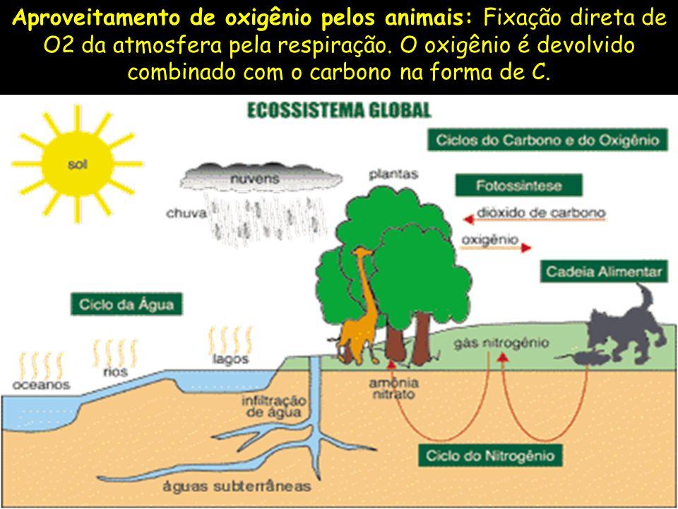Aproveitamento de oxigênio pelos animais: Fixação direta de O2 da atmosfera pela respiração.