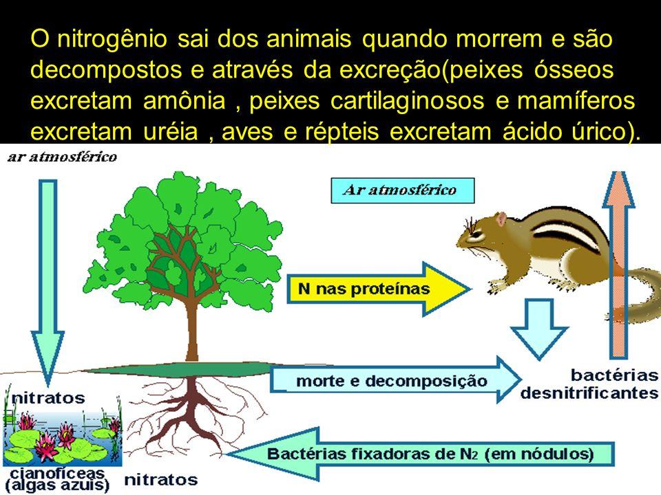 O nitrogênio sai dos animais quando morrem e são decompostos e através da excreção(peixes ósseos excretam amônia , peixes cartilaginosos e mamíferos excretam uréia , aves e répteis excretam ácido úrico).