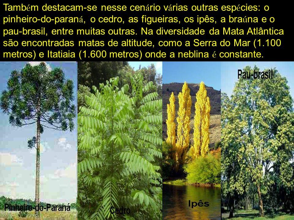 Também destacam-se nesse cenário várias outras espécies: o pinheiro-do-paraná, o cedro, as figueiras, os ipês, a braúna e o pau-brasil, entre muitas outras.